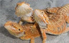 Bearded agama red morph manual individuals