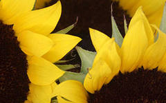 Семена подсолнечника АРАКАР сверх засухоустойчивый