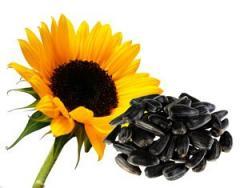 Sunflower seeds DNIESTER (Serbia)
