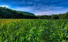 Семена кукурузы Оржиця – 237 МВ