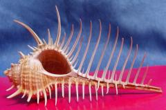 мурекс пектен 11.2 - морская ракушка
