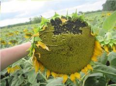 Семена подсолнечника от официального дистрибьютора