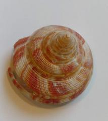 морская ракушка - морское ушко 4,2