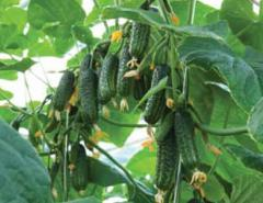 Семена огурцов Еколь F1, партенокарпические огурцы