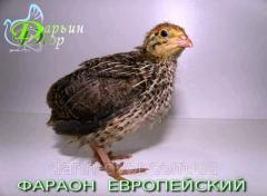 Quails Pharaoh Evropeysky