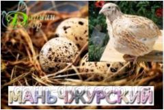 Quail incubatory egg, Manchurian.