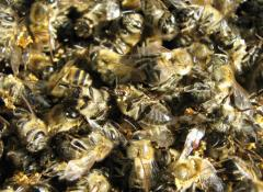 Бджолиний подмор купити в Донецьку (Хитозан –