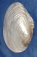 Морская ракушка - макабебе 23,5