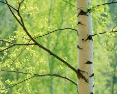 The broom is birch, raw materials for the birch