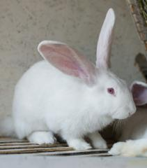 Breeding rabbits the White giant wholesale and