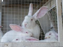 Кролики с фермы, кролики от производителя, Кролики