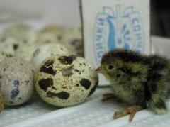 Свежие перепелиные яйца в наличии и под заказ. Оптом и в розницу. Возможна доставка