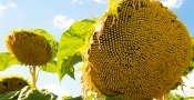 Accept hybrid of sunflower