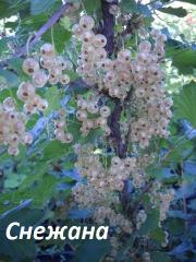 Саженцы смородины красной высокой урожайности