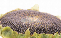 Calibrated sunflower sunflower seed from the