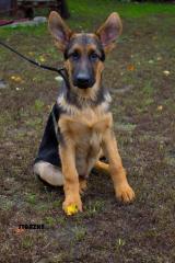 Puppies of a German shepherd bred