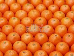 Апельсины, оптовая продажа цитрусовых