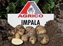 Картофель посадочный ранний сорт Импала (Impala)