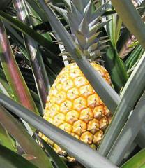 Příchutí ananasu