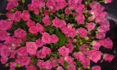 Rose branch Lavli Lidiya, local rose