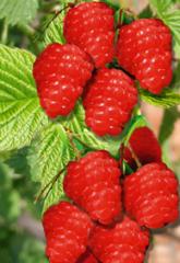 Raspberry saplings