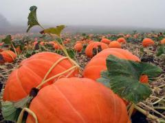 Pumpkin azure, fodder, arabatsky