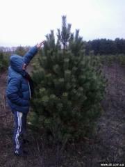 Pines Novogdniye Optom