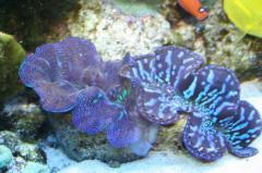Тридактны (моллюски)