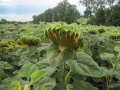 Семена подсолнечника АТЛАНТА купить в Украине, Семена подсолнечника Атланта купить заказать