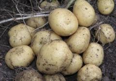 Семена картофеля РІВ'ЄРА (ІІ репр.) купить в