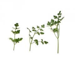 Петрушка листова