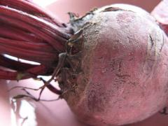 Beet wholesale from Ukrinterkompani's