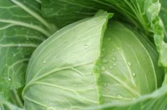 Fresh white cabbage wholesale