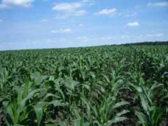 Кукуруза простые гибриды
