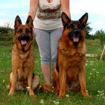 High-pedigree puppies of a German shepherd from a