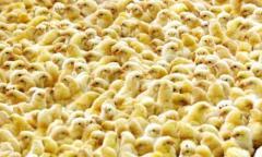 Молодняк суточный бройлеров, молодняк цыплят, цыплята коб 500, РОСС 308