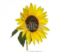 Seeds sunflower hybrid Arakar, Zaklik, Fragment,