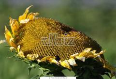 Seeds sunflower hybrid Arakar, Zaklik, Fragment,