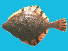 Flounder frozen, Flounder star-shaped N/R