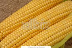 Кукуруза. Гибрид зерна кукурузы Пионер