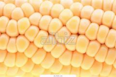Corn seeds hybrid SOLONYaNSKIY 298 of SV of