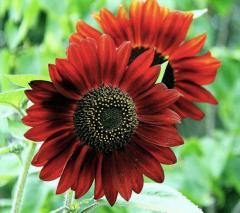 Семена подсолнечника декоративного Красное солнце