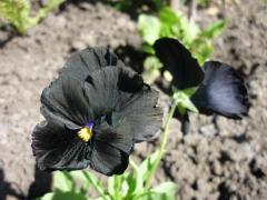 Фиалка Черная звезда Семена