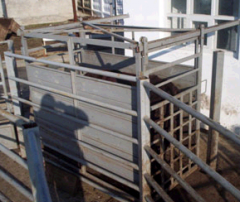 Scales platform for weighing of cattle