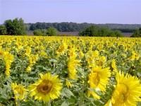 Насіння соняшнику Ясон 2-а фракція. Купити насіння