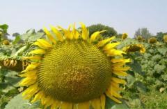 Семена подсолнечника Любаш  1-я фракция. Купить