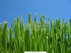 Пшеница купить