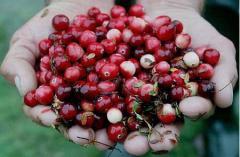Berries wild-growing