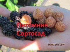 Саженцы малины черной Кумберленд, Бристоль