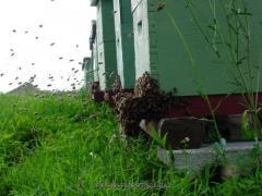 Пчелопакеты и пчелосемьи.